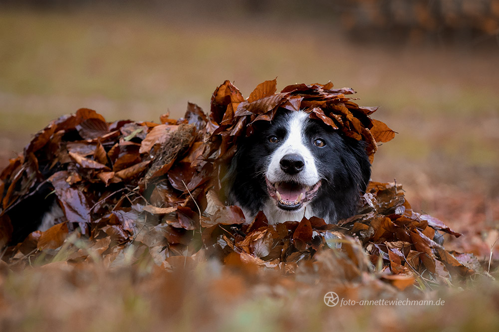 Border Collie Herbstshooting