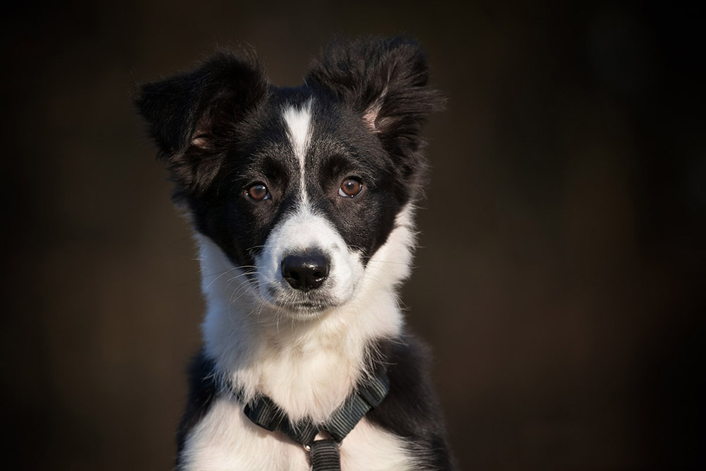 Border Collie 13 Wochen