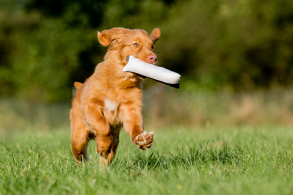 Junger Duck Tolling Retriever mit Dummy