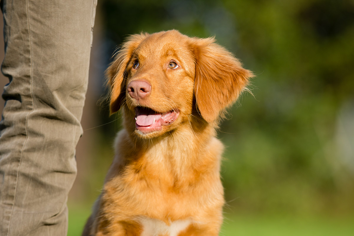 Junger Nova Scotia Ducktolling Retriever