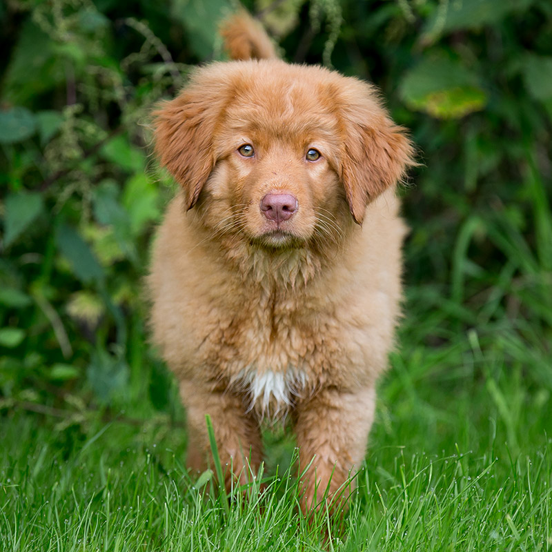 Novascotia Duck Tolling Retriever schaut